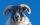 Black Face Sheep - Gavin Campbell
